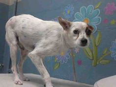 PIRATE-ID#A4401536  My name is Pirate and I am described as a neutered male, white and brown Terrier  The shelter thinks I am about 2 years and 9 months old.  I have been at the shelter since Aug 26, 2014. Back For more information about this animal, call: Los Angeles County Animal Control - Lancasterat(661) 940-4191 Ask for information about animal ID number A4401536