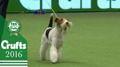 Terrier Group - Judging and Presentation | Crufts 2016