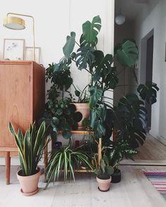 Monstera posse #plantgang #urbanjunglebloggers #crazyplantlady #plantsofinstagram #sundaze