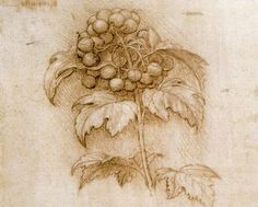 This drawing of Viburnum opulus by Leonardo da Vinci seems not to have been a study for a part of a painting. Rather, it is one of a number of drawings that might have been intended to be a botanical study of herbs. Botanical Drawings, Botanical Illustration, Botanical Prints, Michelangelo, Pencil Drawings, Art Drawings, Sibylla Merian, Drawing Studies, Pierre Auguste Renoir