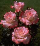 Secret, a cream and peach tea rose. Beautiful lemony scent.