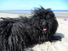 favorite beach activity -- rolling in the sand at the high-tide line Hungarian Puli, Puli Dog, Komondor, Beach Activities, Herding Dogs, High Tide, Dog Show, Small Breed, Pictures Of You