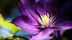 Free Image on Pixabay - Flower, Clematis, Plant, Flora Clematis Plants, Clematis Flower, Free Pictures, Free Images, Photo Romance, Beauty Background, Bloom, Widescreen Wallpaper, Floral Photography