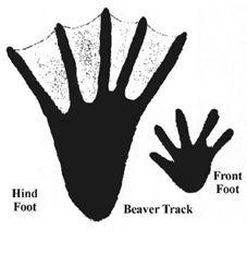 printable beavers tracks | Sourceof this image: University of Nebraska Extension Animal Tracks, Daycare Crafts, Project Based Learning, Nature Crafts, Stories For Kids, Book Of Life, Nebraska, Beavers, Printables