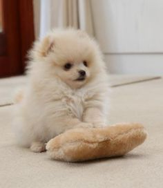 The traits we all admire about the Lively Pomeranian Puppy Discover Inquisitive Pomeranians Cute Baby Dogs, Cute Dogs And Puppies, Little Puppies, Little Dogs, Pet Dogs, Dog Cat, Doggies, Cute Funny Animals, Cute Baby Animals