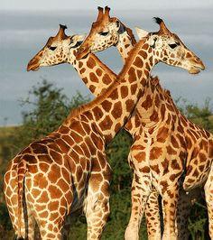 Giraffes in Gulu, Uganda