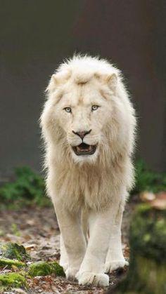 White Lion Picture White Lion Hd Wallpaper White Lions Lion