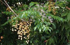 Cómo cuidar el árbol del paraíso - https://www.jardineriaon.com/como-cuidar-el-arbol-del-paraiso.html #plantas