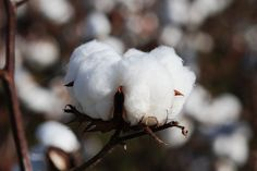 I've never seen cotton plants in person...I'm loving these photos
