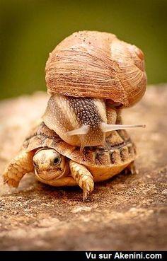 Pour aller plus vite un escargot monte sur une tortue - To go faster a snail climbs on a turtle