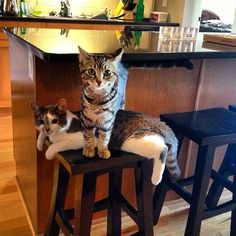 Charlie and Kirby.  #Cat #Cats #Kitty #Kittens #Feline #Tabby #catsofinstagram #Cute #kitten #Kitties
