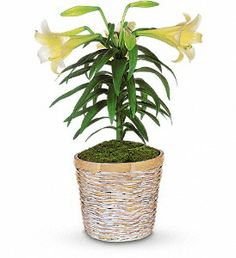 This classically beautiful white lily plant with its long, graceful leaves is the perfect choice for Easter or spring celebrations.