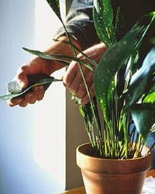 Houseplant Cleaning
