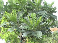 japanese fern tree - filicium decipiens