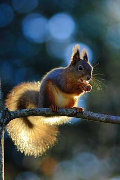Orava 1 - Red Squirrel 1 | Flickr: Intercambio de fotos