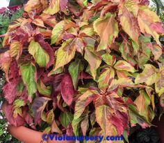 Acalypha Jungle Cloak is colorful foliage plant.