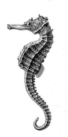 Réunion seahorse - Description : Hippocampus borboniensis -- Author : Jobin -- Date : 1885 -- Source : Histoire physique, naturelle, et politique de Madagascar Alfred Grandidier