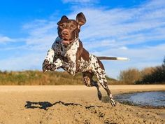 German Shorthaired Pointer - a purebred, large dog  from Germany with a typical lifespan of 14 years, height of 24 inches, and weight of 63 pounds. The #11 AKC breed. See data on personality, health, cost of ownership, and more.