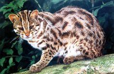 Leopard Cat - Prionailurus bengalensis - kan opleve på bl.a. Bali (noctunal hunter)
