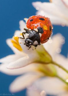 Viveza by Alejandro Ferrer Ruiz on She's A Lady, Lady In Red, Macro Fotografie, A Bug's Life, Nature Animals, Macro Photography, Amazing Photography, Beautiful Creatures, Animal Kingdom