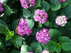 2013 shows up with pink hydrangea flowers. 2012 had blue flowers! Nothing was added to the soil.