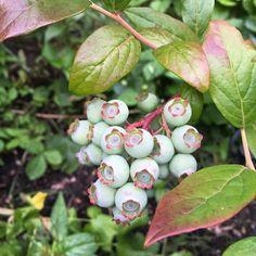 Blueberries waking to turn blue! #gardening #homegrown #westcoastliving