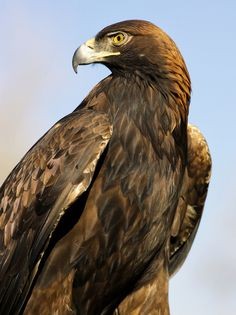 Golden Eagle Profile by Jim Crotty by Jim Crotty, via 500px