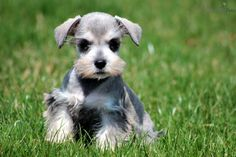 Miniature Schnauzer Puppies | ... Schnauzer, Miniature puppy for sale for $550. Bentley - Mini Schnauzer