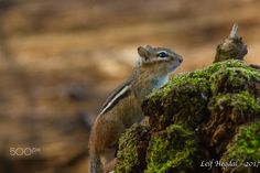 Chipmunk on a fallen tree in the forest.