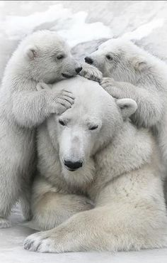 #Polar pile #bear #cubs #animals #cute