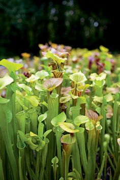 Pitcher Plants: These plants keep flies and other irritating insects away from the garden that you spend so much time in. These pitcher plants also look beautiful and are great to have around. If your not an insect that is!