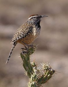 Carriça / The state bird of Arizona is the cactus wren officially recognized in 1931. The largest North American wren (7-9 inches), cactus wrens are native to the arid south- western United States extending to central Mexico. Cactus wrens primarily eat insects (including ants, beetles, grasshoppers, and wasps) and occasional seeds and fruits. Almost all water is obtained from its food (a true bird of the desert, the cactus wren rarely drinks free standing water, even when available)..