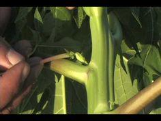 Plantação de Mamão - Processo Completo - VS FAZENDA.avi