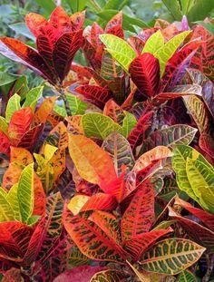 Croton, Codiaeum variegatum