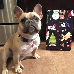 Henry the frenchie and frenchie wrapping