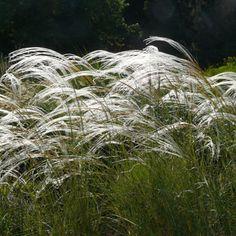 :: Stipa barbata - Reiher-Federgras :: Gräser :: Sonnige Standorte :: Kleinere Gräser und Polster - Pflanzenversand Gaissmayer