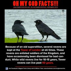Corvid Tower of London Ravens Animals And Pets, Funny Animals, Cute Animals, Crow Facts, Raven Facts, The More You Know, Just For You, Wtf Fun Facts, Dumb Facts