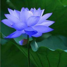 Hd Flowers, Beautiful Flowers Wallpapers, Indoor Flowers, Exotic Flowers, Pretty Flowers, Periwinkle Flowers, Blue Roses, Fabric Flowers, Lotus Flower Seeds