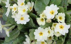 cheerful primroses