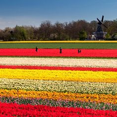 Tulip fields with windmill Photo by Markus Gebauer Photography -- National Geographic Your Shot Book Cheap Flights, Tulip Fields, Train Rides, National Geographic Photos, Your Shot, Capital City, Windmill, Continents, Van Gogh