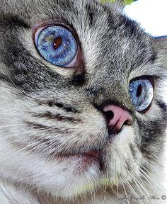 Ragdoll Cat: Buddy by Traveled Roads, via Flickr