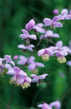 Thalictrum delavayi - Chinese Meadow Rue