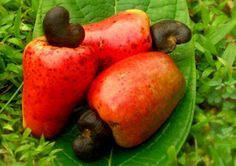 Fruit Warehouse: shew ( Anacardium occidentale ) Cashew with cashew fruit! Cashew Apple, Cashew Tree, Exotic Fruit, Tropical Fruits, Natural Cures, Natural Healing, Strange Fruit, Fruit Trees, Fruits And Vegetables