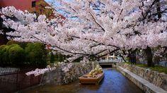 風情ある京都高瀬川一之船入の華やかな満開の桜