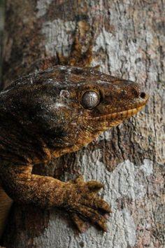 Leach's Giant Gecko