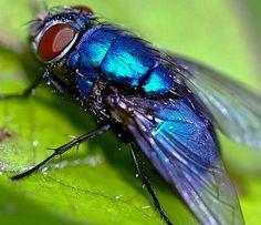 bluebottle fly - Google Search