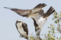 The Osprey above was photographed at Sanibel Lighthouse in April 2012.