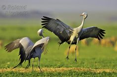 Pictures of Crane Birds . Quality Pictures on Animal Picture Society