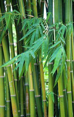 Bamboo Shoots Photograph by Maria Keady