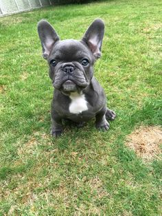 Blue French bulldog pup! She is sooo stunning